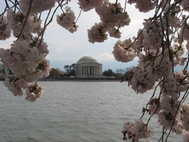 One of my favorite views of the Cherry Blossoms has always been how they beautifully frame the Jefferson Memorial!