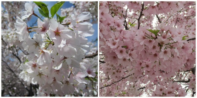 The blossoms on Saturday vs. on Monday - what a difference in color!
