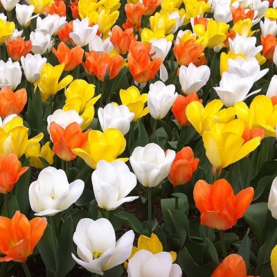I was able to enjoy these gorgeous tulips outside of the National Gallery of Art during my walk on the National Mall on Monday